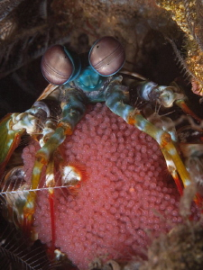 Mantis shrimp w/- eggs, Seraya by Doug Anderson 